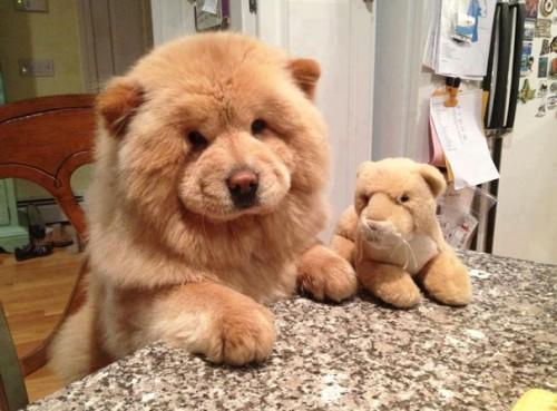 Petits chiens trop mignons qui ressemblent à des petites peluches
